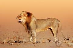 Pustynny lew Obraz Royalty Free