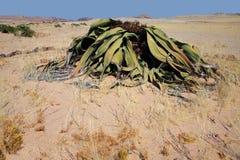 pustynny namib Namibia welwitschia Obrazy Stock