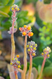 Pustynny ogród z sukulentami Obraz Royalty Free