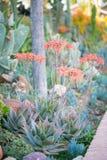 Pustynny ogród z sukulentami Zdjęcia Royalty Free