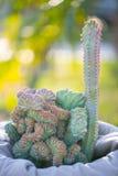 Pustynny ogrodowy kaktus Fotografia Royalty Free