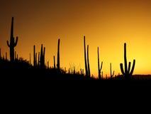 Pustynny Południowo-zachodni Saguaro kaktusów ranek Obrazy Royalty Free