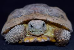 Pustynny Tortoise zdjęcie stock