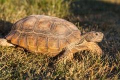 Pustynny Tortoise w Arizona Obrazy Stock