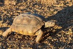 Pustynny Tortoise w Arizona pustyni Obraz Royalty Free