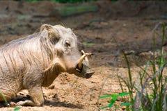 Pustynny Warthog Bawić się na błocie Fotografia Stock