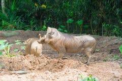 Pustynny Warthog Bawić się na błocie Fotografia Royalty Free