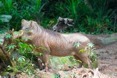 Pustynny Warthog Bawić się na błocie Zdjęcia Royalty Free