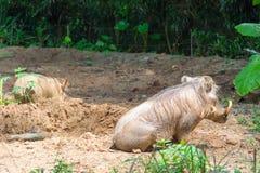 Pustynny Warthog Bawić się na błocie Obraz Royalty Free