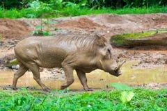 Pustynny Warthog Bawić się na błocie Obrazy Royalty Free