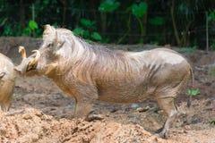 Pustynny Warthog Bawić się na błocie Zdjęcia Stock