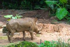 Pustynny Warthog Bawić się na błocie Zdjęcie Stock