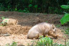 Pustynny Warthog Bawić się na błocie Obrazy Stock