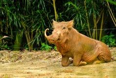 Pustynny warthog Phacochoerus africanus Zdjęcie Royalty Free