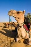 pustynny wielbłąd Thar zdjęcia royalty free