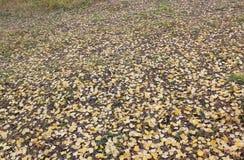 Puszka koloru żółtego liście Obraz Stock