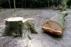 puszka rżnięty drzewo obraz royalty free