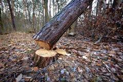 puszka rżnięty drzewo Fotografia Stock