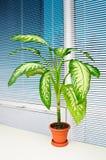 puszkująca biurowa roślina zdjęcie royalty free