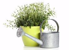 puszkująca oregano roślina Zdjęcie Stock