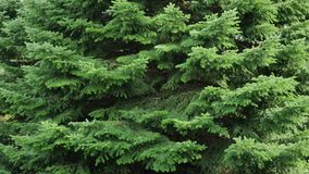 Puszyści świerkowi drzewa w lasowej Bożenarodzeniowej scenie zbiory wideo