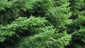 Puszyści świerkowi drzewa w lasowej Bożenarodzeniowej scenie zbiory
