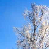 Puszysta biała brzoza rozgałęzia się w promieniach światło słoneczne Zima słoneczny dzień obrazy royalty free