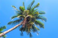 Puszysta drzewko palmowe korona na niebieskiego nieba tle Coco palmy odgórnego widoku fotografia Obraz Royalty Free