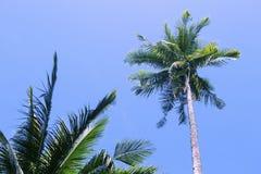 Puszysta drzewko palmowe korona na pogodnym niebieskiego nieba tle Drzewko palmowe korona z zielonym liściem na niebie Fotografia Stock