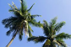 Puszysta drzewko palmowe korona na pogodnym niebieskiego nieba tle Drzewko palmowe korona z zielonym liściem na niebie Zdjęcie Royalty Free