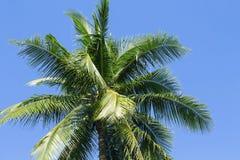 Puszysta drzewko palmowe korona na pogodnym niebieskiego nieba tle Drzewko palmowe korona z zielonym liściem na niebie Zdjęcia Stock