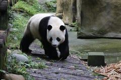 Puszysta Gigantyczna panda w Chiny zdjęcia stock