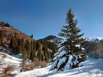 Puszysta jedlina zakrywająca z śniegiem w górach Zdjęcie Royalty Free