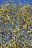 Puszysta miękka wierzba pączkuje w wiośnie. Fotografia Royalty Free