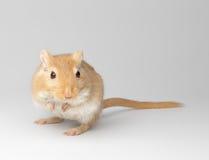 Puszysta mysz obrazy royalty free