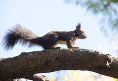 Puszysta wiewiórka na gałąź Obraz Stock