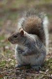 Puszysta wiewiórka w parku Zdjęcia Stock
