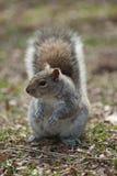 Puszysta wiewiórka w parku Obrazy Royalty Free