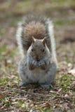 Puszysta wiewiórka w parku Obrazy Stock