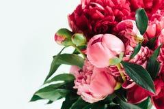 Puszyste ?ywe koralowe peonie, kwiatu t?o obraz stock