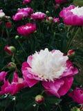 Puszyste Bicolor Różowe peonie obraz stock