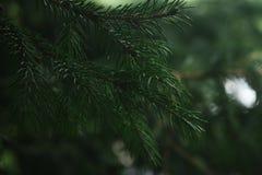 Puszyste gałąź iglasty drzewo Fotografia Royalty Free