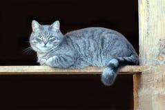 Puszyste szarość paskowali domowego kota obsiadanie na drewnianej desce na czarnym tło bocznego widoku zakończeniu up Fotografia Stock