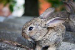 Puszystego królika widoku makro- fotografia szary królik, płytka głębia pole, miękka ostrość Obrazy Royalty Free
