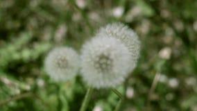 Puszysty biały dandelion na słonecznego dnia kiwaniu w wiatrze zbiory