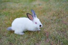 Puszysty biały mały królik z czerwieni oczami i czerń ostrożnie wprowadzać, na gree zdjęcie stock