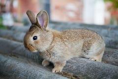 Puszysty brown królik na szarym tle, Wielkanocnego królika pojęcie makro- widok, płytka głębia pole, miękka ostrość Obrazy Royalty Free