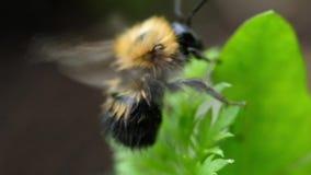 Puszysty bumblebee czyści podbrzusze z swój łapy zamknięty up i lata daleko od, makro- zbiory wideo