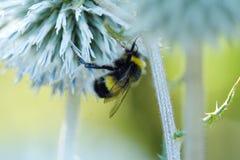 Puszysty bumblebee na kwiatu zbierackim pollen Zdjęcie Royalty Free