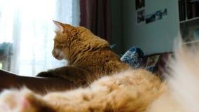 Puszysty czerwony kota oblizanie myje ogon zamkniętego w górę w domu, kłamający z kobietą zdjęcie wideo